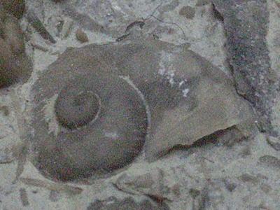 シルル紀の巻き貝